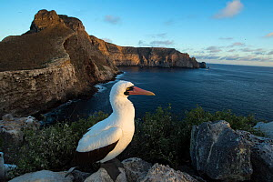 Nazca booby (Sula granti) on cliff top overlooking sea. Wolf Island, Galapagos. August 2016. - Tui De Roy