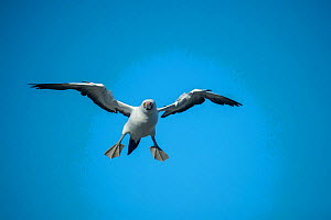 Nazca booby (Sula granti) in flight, about to land. Wolf Island, Galapagos. - Tui De Roy