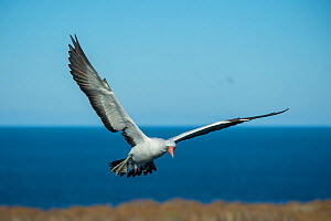 Nazca booby (Sula granti) in flight at coast. Wolf Island, Galapagos. - Tui De Roy