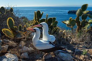 Nazca booby (Sula granti), pair amongst Prickly pear (Opuntia sp) cacti at coast. Wolf Island, Galapagos. August 2016. - Tui De Roy