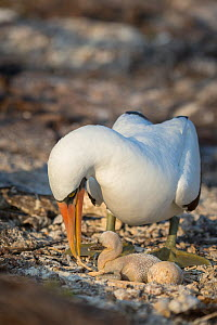 Nazca booby (Sula granti), adult with featherless chick and egg, at nest. El Barranco, Darwin Bay, Genovesa Island, Galapagos. - Tui De Roy