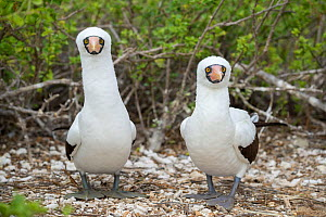 Nazca booby (Sula granti), pair standing side by side, looking at camera. Darwin Bay, Genovesa Island, Galapagos. - Tui De Roy