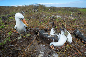 Nazca booby (Sula granti), two males resting during fight. Genovesa Island, Galapagos. Sequence 5/6.  -  Tui De Roy
