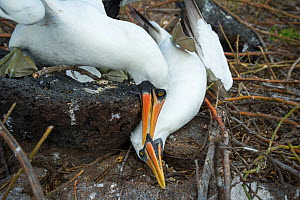 Nazca booby (Sula granti), male pinning another male down during fight. Genovesa Island, Galapagos. Sequence 4/6. - Tui De Roy