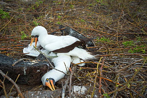 Nazca booby (Sula granti), male pinning another male down during fight. Genovesa Island, Galapagos. Sequence 3/6.  -  Tui De Roy