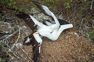 Nazca booby (Sula granti), two males fighting. Genovesa Island, Galapagos. Sequence 2/6. - Tui De Roy