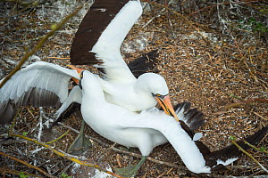 Nazca booby (Sula granti), two males fighting. Genovesa Island, Galapagos. Sequence 1/6. - Tui De Roy