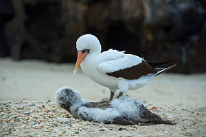 Nazca booby (Sula granti), adult with chick that it has killed. Genovesa Island, Galapagos. - Tui De Roy