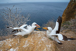 Nazca booby (Sula granti), two males in competition for onlooking female. Gardner Islet, Floreana Island, Galapagos. - Tui De Roy