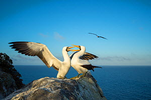 Nazca booby (Sula granti), pair in courtship, on rock at coast. Gardner Islet, Floreana Island, Galapagos. - Tui De Roy
