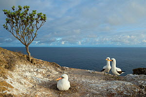 Nazca booby (Sula granti) on nest with two looking on, at coast. Gardner Islet, Floreana Island, Galapagos. December 2014.  -  Tui De Roy