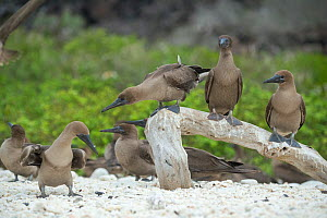 Red-footed booby (Sula sula), flock at rest. Genovesa Island, Galapagos.  -  Tui De Roy