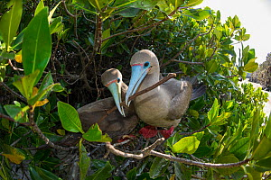 Red-footed booby (Sula sula), pair nest building in tree. Darwin Bay, Genovesa Island, Galapagos.  -  Tui De Roy