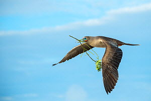 Red-footed booby (Sula sula) flying with nesting material in beak. Genovesa Island, Galapagos. - Tui De Roy