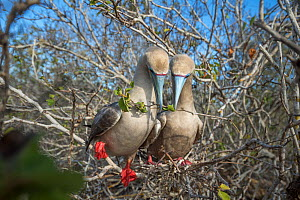 Red-footed booby (Sula sula), pair with twig in beaks, nest building in tree. Genovesa Island, Galapagos. - Tui De Roy