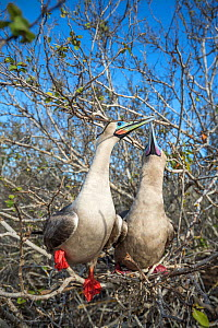Red-footed booby (Sula sula), pair billing whilst perched in tree. Genovesa Island, Galapagos. - Tui De Roy