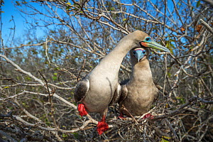 Red-footed booby (Sula sula), pair perched in tree. Genovesa Island, Galapagos. - Tui De Roy