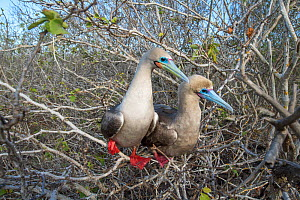 Red-footed booby (Sula sula), pair looking in same direction whilst perched in tree. Genovesa Island, Galapagos. - Tui De Roy