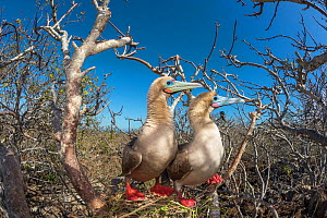 Red-footed booby (Sula sula), pair looking in same direction. Genovesa Island, Galapagos. - Tui De Roy