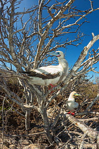 Red-footed booby (Sula sula), two perched in tree. Genovesa Island, Galapagos. - Tui De Roy