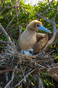 Red-footed booby (Sula sula), adult on nest brooding chick. Genovesa Island, Galapagos. - Tui De Roy