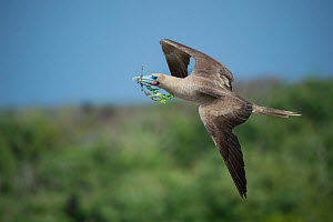 Red-footed booby (Sula sula) in flight with nesting material in beak. Genovesa Island, Galapagos. - Tui De Roy