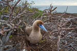 Red-footed booby (Sula sula) on nest amongst branches, incubating egg. Genovesa Island, Galapagos. - Tui De Roy