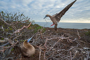 Red-footed booby (Sula sula), pair at nest in tree overlooking coast. Bird on nest whilst other is landing with nest material. Genovesa Island, Galapagos. - Tui De Roy