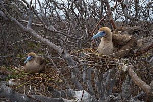 Red-footed booby (Sula sula), two sitting on nests in tree. Genovesa Island, Galapagos. - Tui De Roy