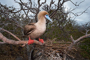 Red-footed booby (Sula sula), perched in tree with nest behind. Genovesa Island, Galapagos. - Tui De Roy