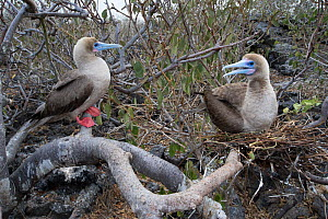 Red-footed booby (Sula sula), two in tree. One sitting on nest. Genovesa Island, Galapagos. - Tui De Roy