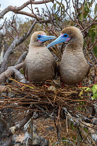 Red-footed booby (Sula sula), pair looking at one another on nest in tree. Egg is nest. Genovesa Island, Galapagos. - Tui De Roy