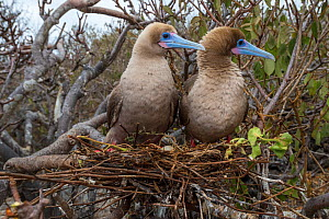 Red-footed booby (Sula sula), pair looking in same direction on nest with egg. Genovesa Island, Galapagos. - Tui De Roy