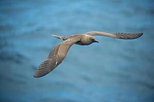 Red-footed booby (Sula sula) in flight over sea. Passage between Santiago Island and Wolf Volcano, Isabela Island, Galapagos. - Tui De Roy