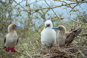 Red-footed booby (Sula sula), adults and chick at nest. Gardner Islet, Floreana Island, Galapagos. - Tui De Roy