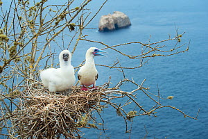 Red-footed booby (Sula sula), adult and chick on nest in tree overlooking sea. Gardner Islet, Floreana Island, Galapagos. - Tui De Roy
