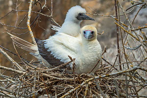 Red-footed booby (Sula sula), adult and chick at nest. Gardner Islet, Floreana Island, Galapagos. - Tui De Roy