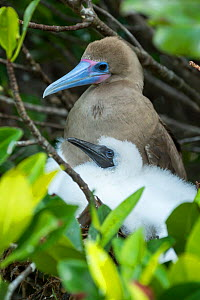 Red-footed booby (Sula sula), adult and chick at nest. Genovesa Island, Galapagos. - Tui De Roy