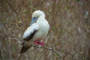 Red-footed booby (Sula sula) preening whilst perched in tree. Wolf (Wenman) Island, Galapagos. - Tui De Roy