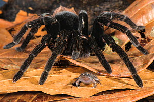 Peruvian Tarantula (Pamphobeteus sp.) adult, walking over Humming Frog (Chiasmocleis royi) without preying on it. Los Amigos Biological Station, Madre de Dios, Amazonia, Peru. These species have a com... - Emanuele Biggi