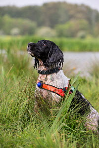Black and white Springer Spaniel in search and rescue harness, Hampshire Search and Rescue Dogs. Chilbolton Cow Common SSSI, Hampshire, UK - TJ Rich