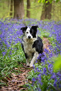 Black and white Border Collie amongst bluebells, in beech woods, Micheldever Woods, Hampshire, UK  -  TJ Rich