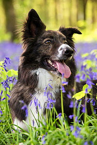 Collie crossbreed rescue dog in bluebells in beech woodland, Micheldever Woods, Hampshire, UK  -  TJ Rich
