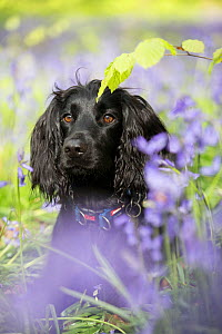 Black working cocker spaniel in bluebells in beech woodland, Micheldever Woods, Hampshire, UK  -  TJ Rich