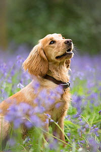 Golden working cocker spaniel puppy amongst bluebells in beech woodland, Micheldever Woods, Hampshire, UK  -  TJ Rich