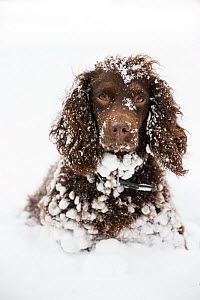 Chocolate working cocker spaniel in snow, Wiltshire, UK - TJ Rich