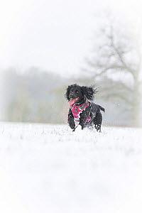 Black working cocker spaniel running in the snow, Wiltshire, UK  -  TJ Rich