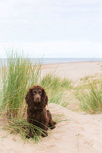 Chocolate working cocker spaniel amongst sand dunes. Formby, Merseyside, UK  -  TJ Rich