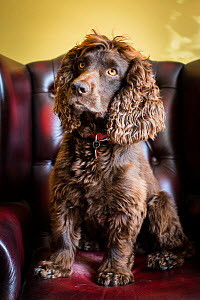 Chocolate working cocker spaniel in Chesterfield armchair, Winchester, Hampshire, UK  -  TJ Rich