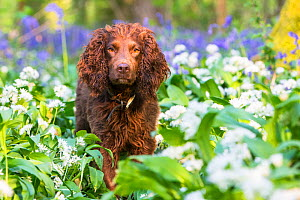 Working cocker spaniel amongst ramsons and bluebells, in ancient woodland. Gopher Wood SSSI, Marlborugh Downs, Wiltshire, UK  -  TJ Rich